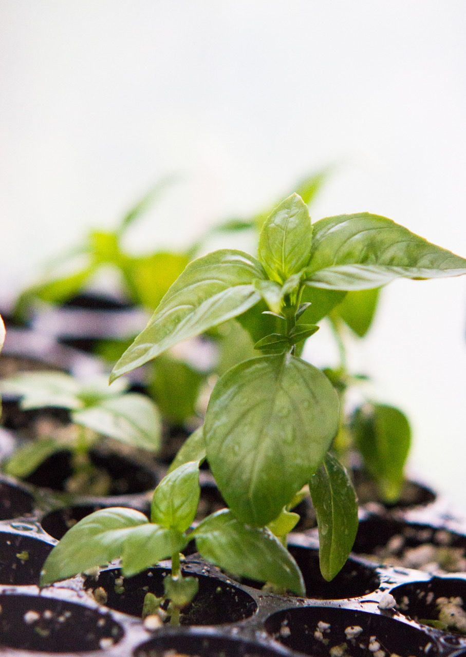 Pungent herbs, such as basil, make great pest deterrents (and yummy bruschetta!).