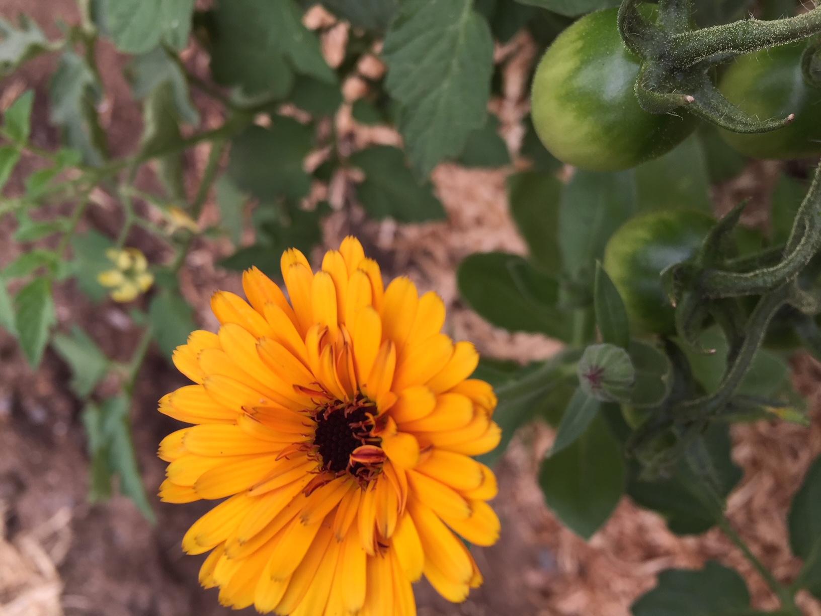 calendulacompanionplant.JPG