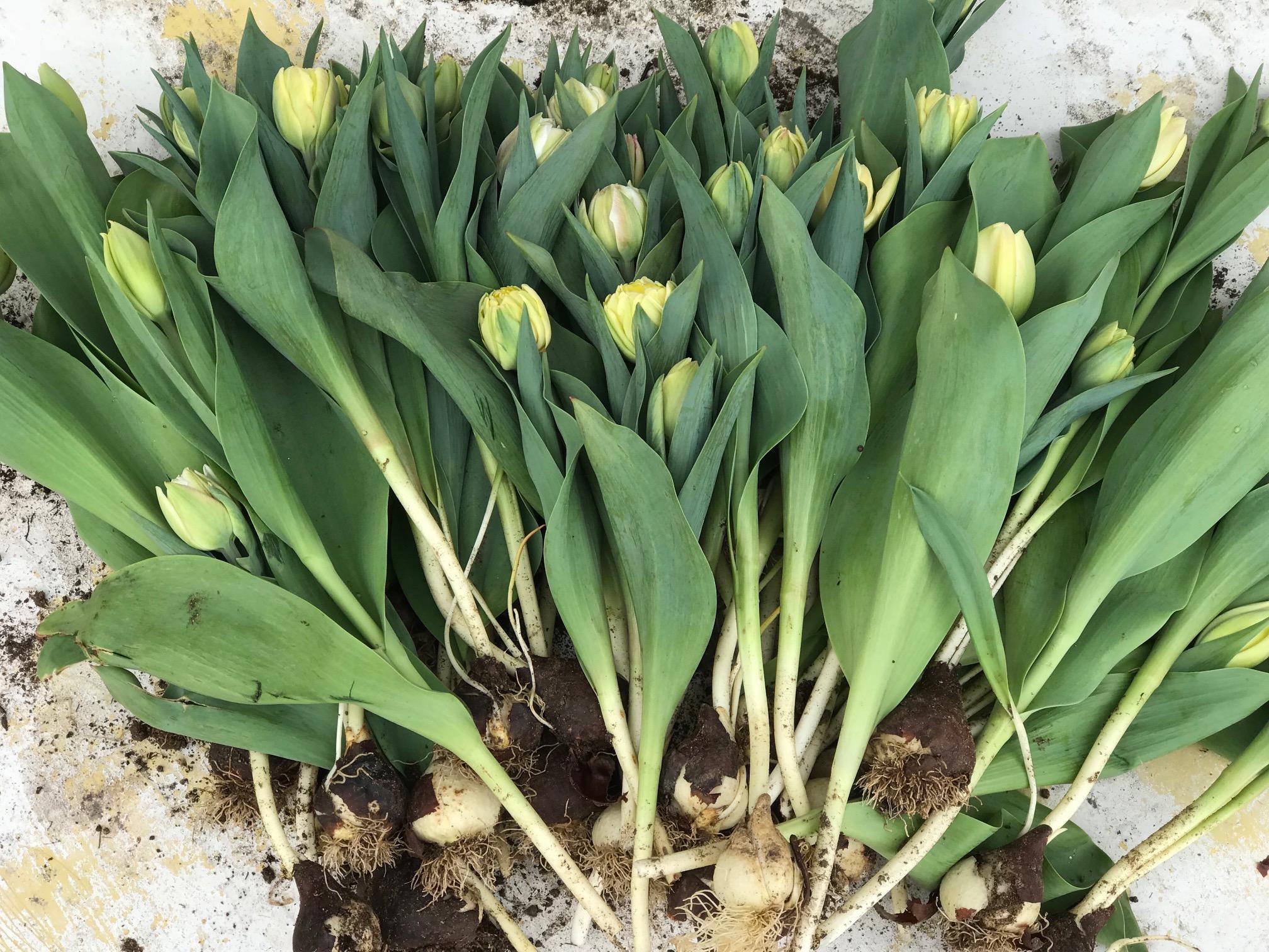 tulipsharvest2018.jpg
