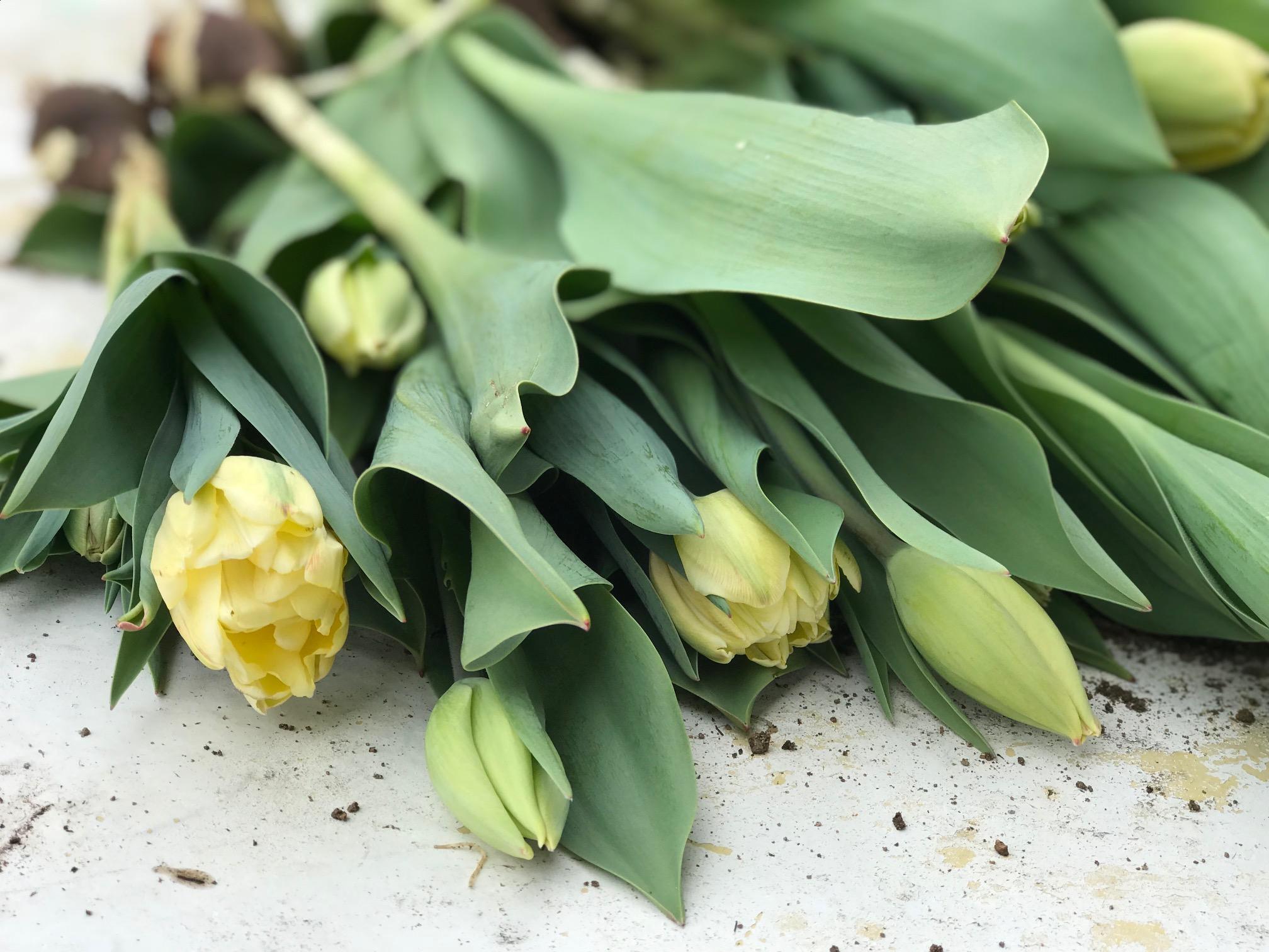 Tulipharvest2018.2.jpg