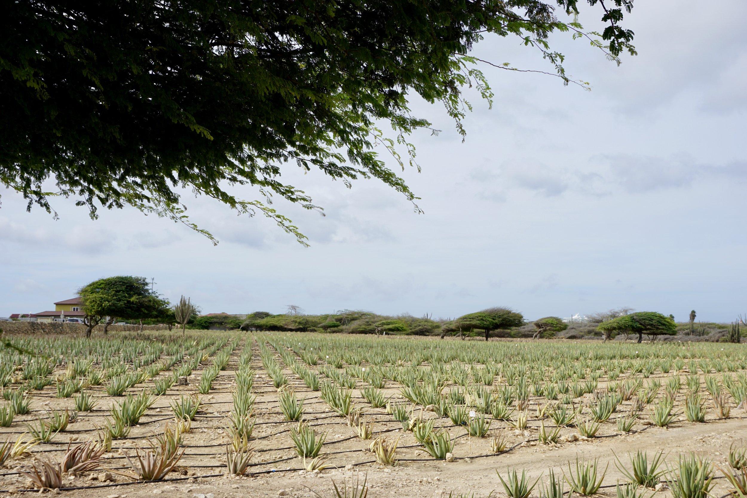 The Aloe Farm!