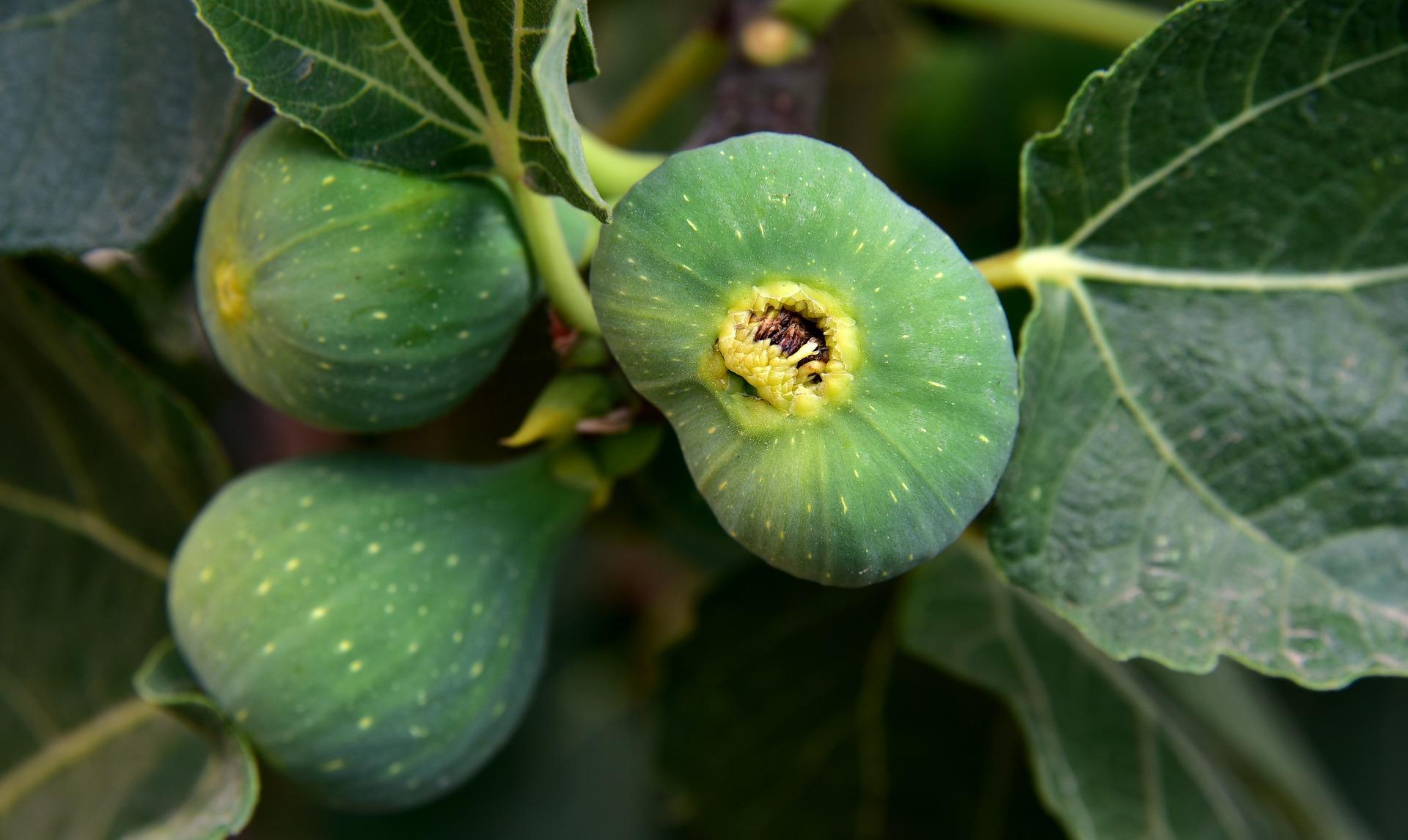 figs-3622574_1920.jpg