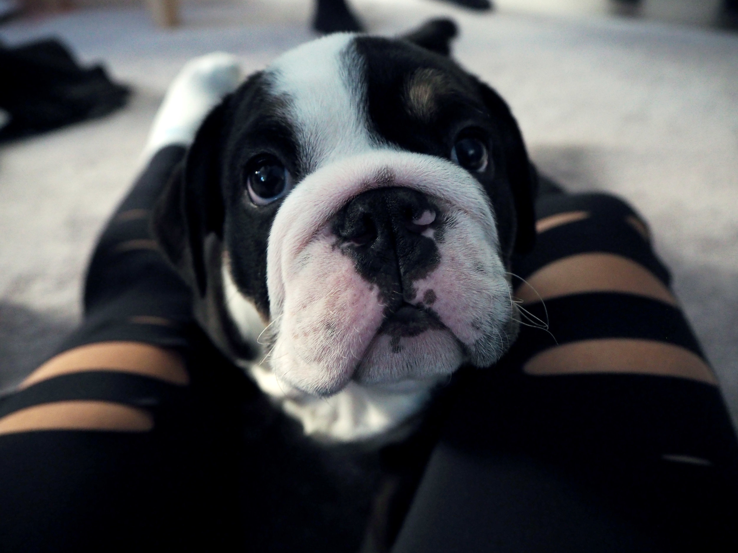 Ramsey's new English bulldog puppy, Butter