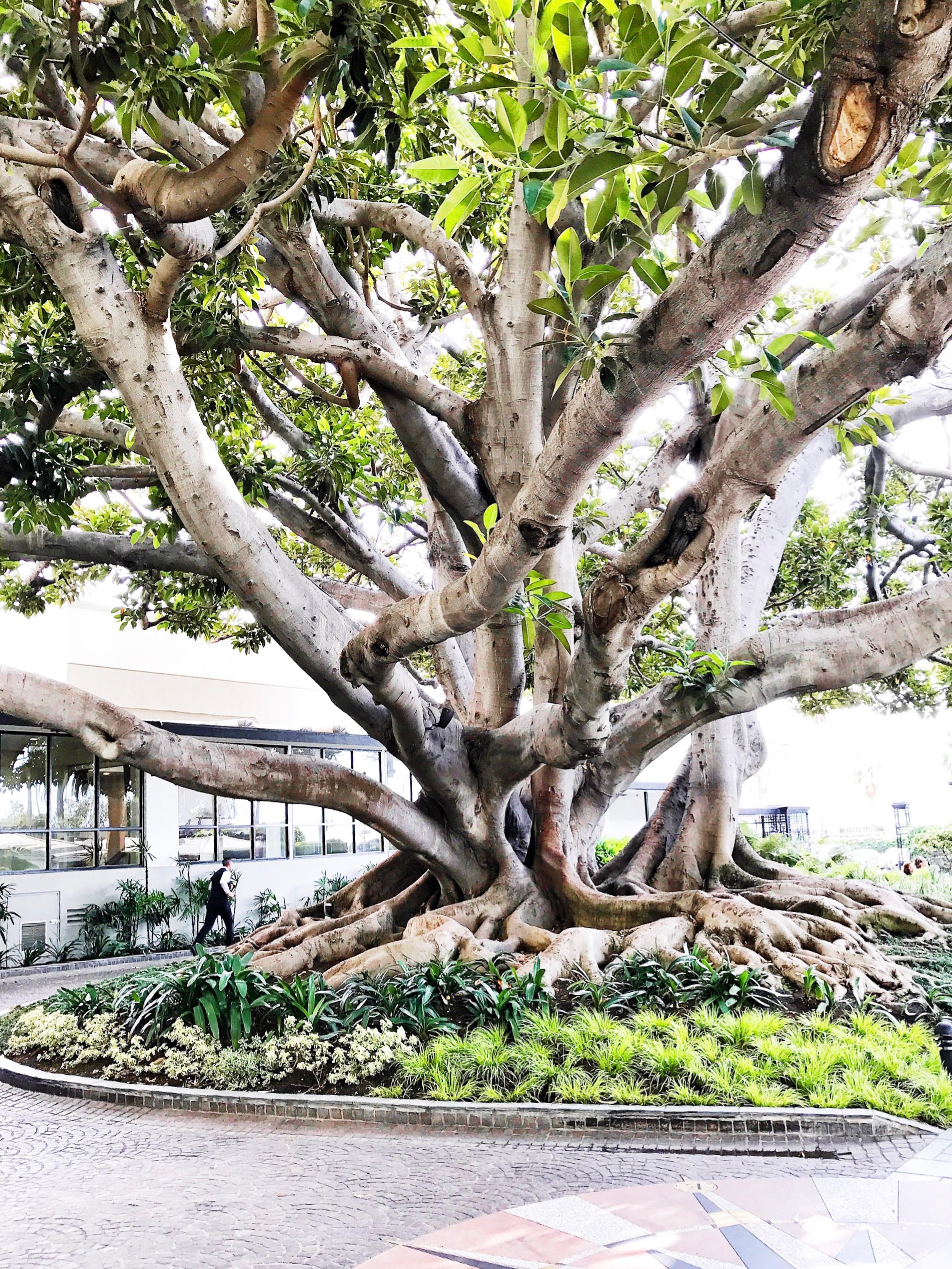 The Moreton Bay Fig tree