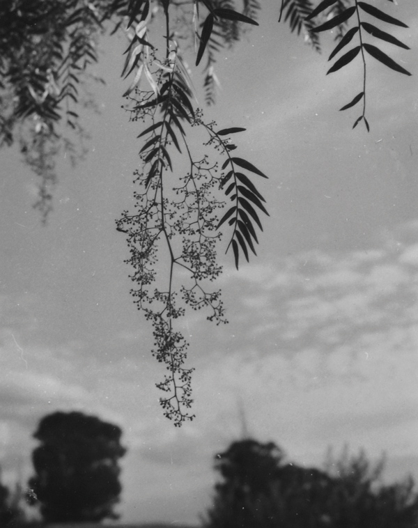 Olive Cotton, (1911-2003), Pepperina, 1985, Silver gelatin print