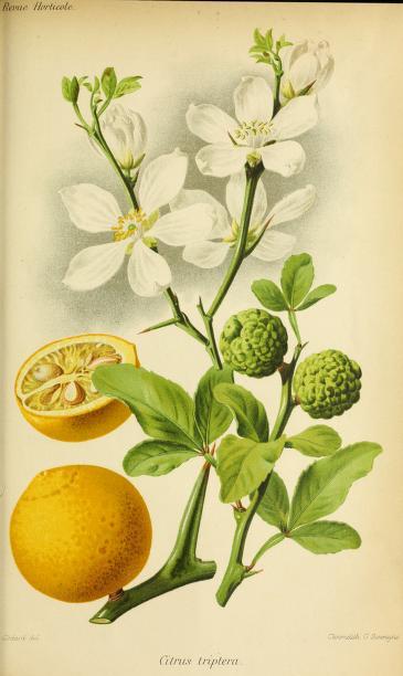 Citrus Triptera, André, E. Revule Horticole , 1885, p. 516
