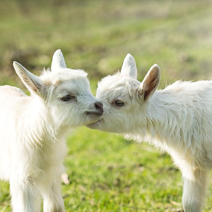 29-kid-goats.w700.h700.jpg