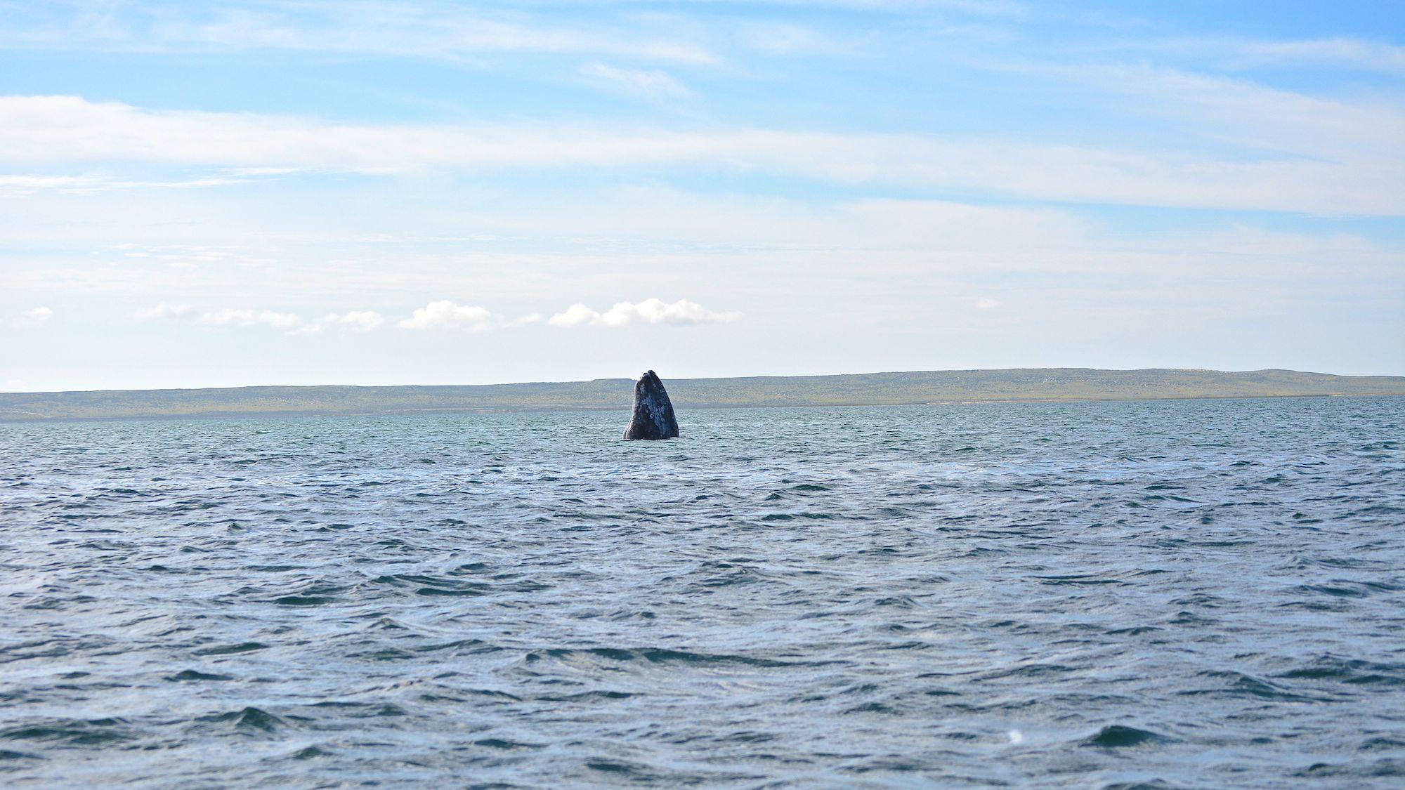 gray_whale_watching_baja_mexico_3.jpg