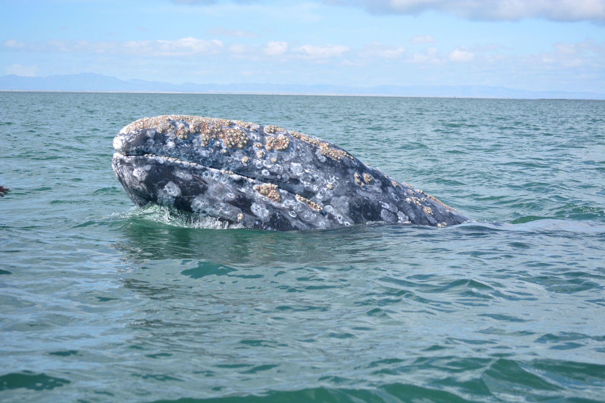 gray_whale_watching_baja_mexico_5.jpg