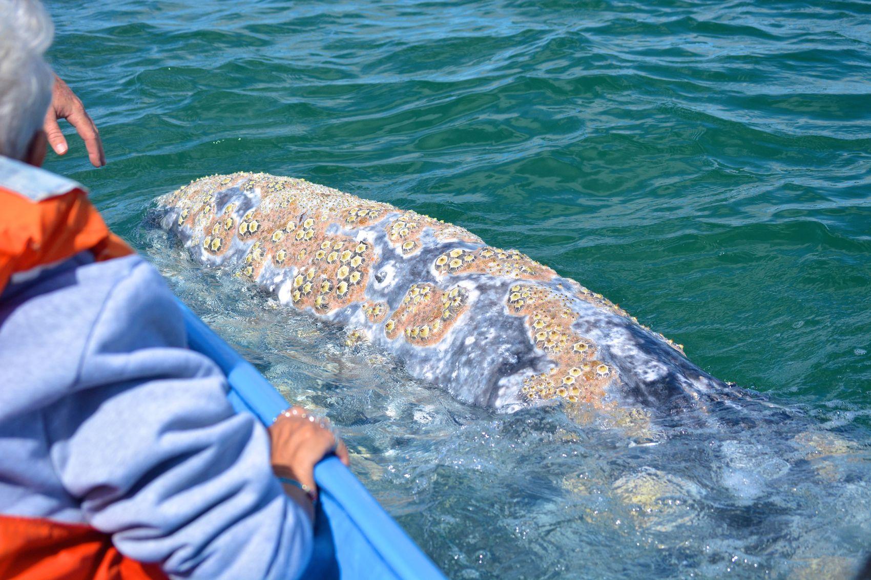 gray_whale_watching_baja_mexico_8.jpg