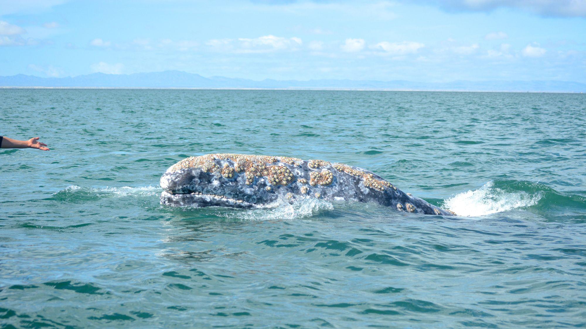 gray_whale_watching_baja_mexico_1.jpg