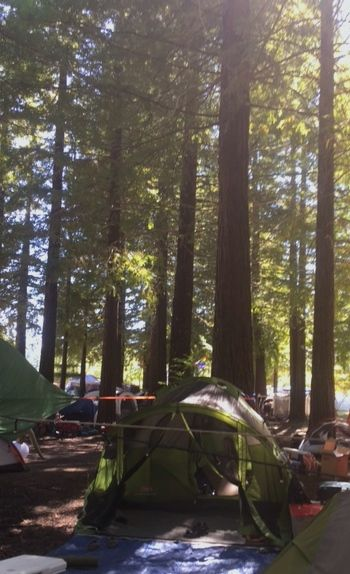 Camping under giant redwoods