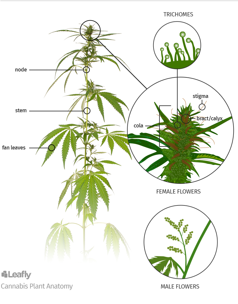 cannabis-parts_Leafly.png