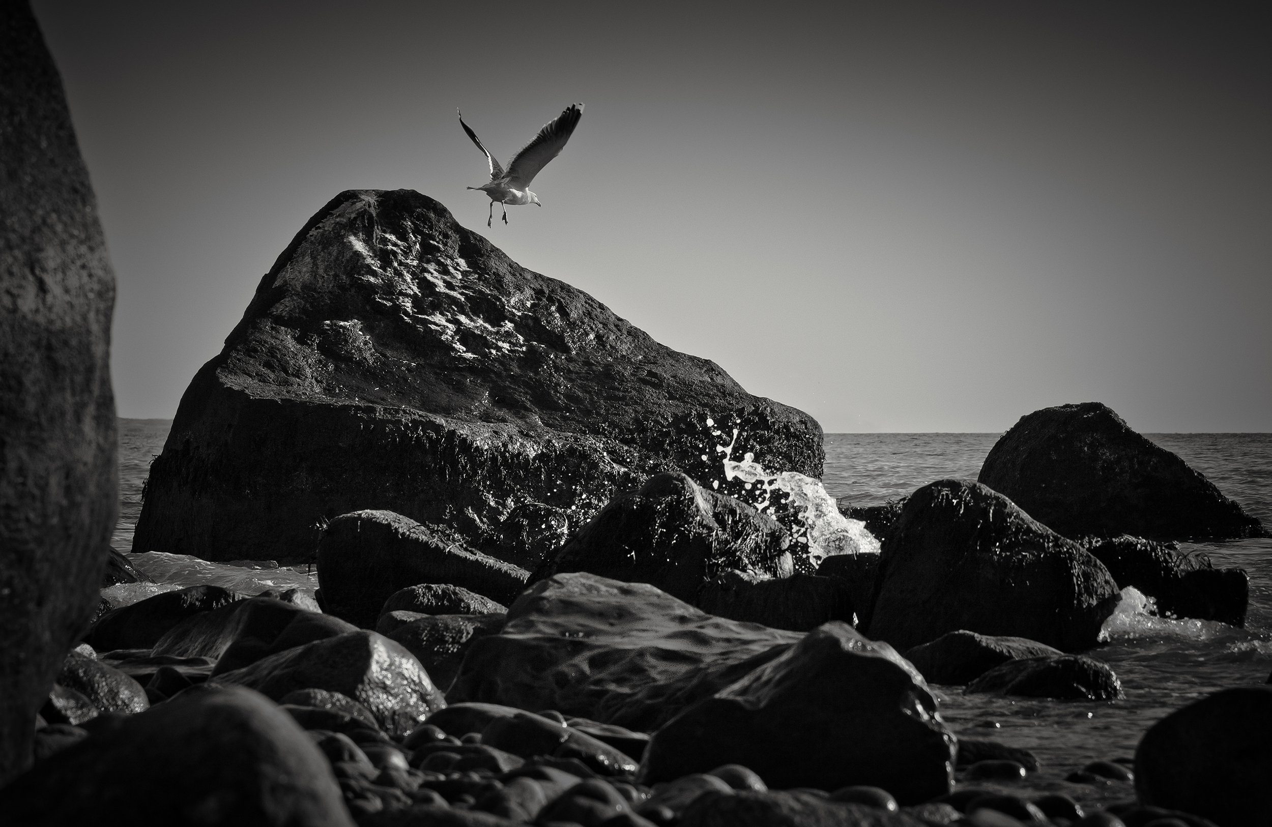 Seagull_Flying_Off_Rock_Img_2417.jpg