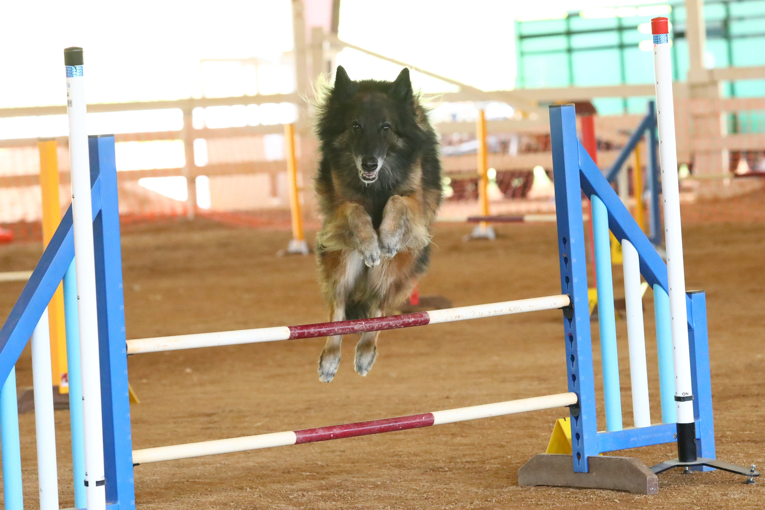 """Cayenne at almost 12 years old is still very fit and active!Good breeding, structure, and an active lifestyle has allowed her to be able to still compete agility at this age!    How fit is your dog? Having a fit, in shape dog is really important for your dog's health, not only physically but mentally as well. So what are some ways to get your dog fit? And what are things to keep in mind?  **Make sure your dog is healthy enough for the activities you are planning! If you are uncertain talk to your vet. Maybe your dog has an injury that limits what type of activity they can do, or you have a puppy, or a senior dog that is slowing down. But there are ways to keep most dogs active; it might just take some creative ideas!  ** Pay attention to the weather! Especially if you have a breed that will be more affected by the weather. For example, our brachycephalic breeds (pugs, boxers, """"flat faced"""" breeds) do not handle the heat as well-so use caution! But any dog can get heat stroke easily, so keep this in mind. If you are going to exercise in the hot weather, go early in the morning or later evening. Make sure you give your dog breaks and water. And watch them closely for signs of heat exhaustion.  **Have a puppy-then remember until they are full grown (which in some breeds is 1-2 years), that they should not have forced exercise. But that doesn't mean they don't need activity to help their joints and bones develop. What are some things that are good for puppies? Playing chase in the backyard, slow walks where they can sniff and amble, slow hikes where they have to climb small rocks/different terrain, playtime with other (not too rough) dogs, and low key swimming.  **Have a senior dog? Make sure your vet has cleared any activities they are doing. But keeping these seniors active is so important! They may go slower and shorter distances, but mentally and physically it is great for them to be out there doing things. Swimming, slow walks, and short hikes can be great for the s"""