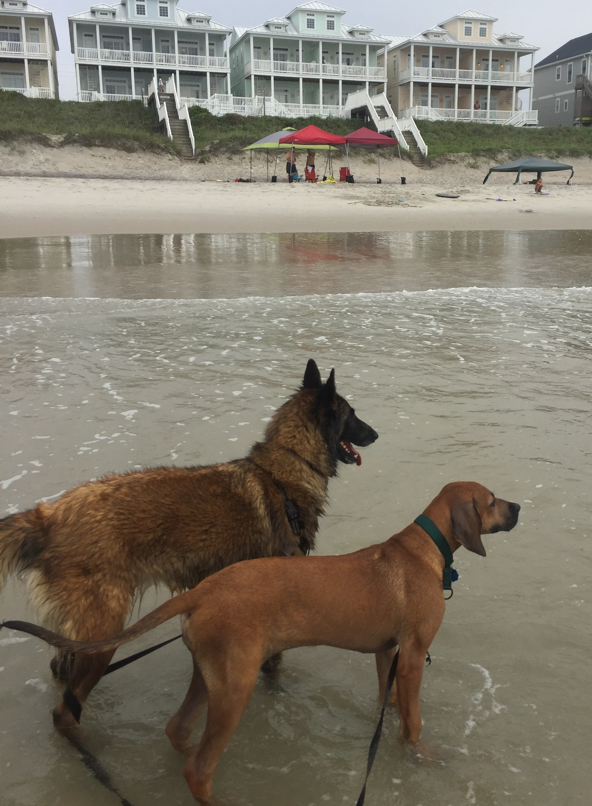 But there are some things to remember when taking your dog to the beach!  *Make certain you choose a beach where dogs are allowed. In North Carolina, there are quite a few beach that allow dogs including Topsoil, Oak Island, Nagshead, and Carolina Beach. But each Beach has their owner rules-typically during On season dogs must be leashed. During off season some beaches will allow dogs off leash. Check the rules before you go!  *Be prepared to clean up after your dog! Bring poop bags and be ready to clean up well if they use the bathroom.  *What the weather closely. You and your dog can easily get overheated on the beach. Bring shade (a canopy tent, umbrella, etc). And when it starts getting hot, it is safer to take a break from the beach. Remember the sand can get really hot and burn your dog's feet too! Make certain you have a place for you and your dog to cool off!  *Use caution and go slow when introducing your dog to the ocean. Sometimes it is best to start on the sound side where the waves are more mild. But go slow and do not force your dog into the water. Let them adjust and go in at their own pace. And if they are scared, maybe try again another time. Also make certain they do not go too far and get injured. Keeping them on leash initially is a good idea to make certain they cannot get into trouble. Tilly and Salza both learned it was so much fun to jump the waves!
