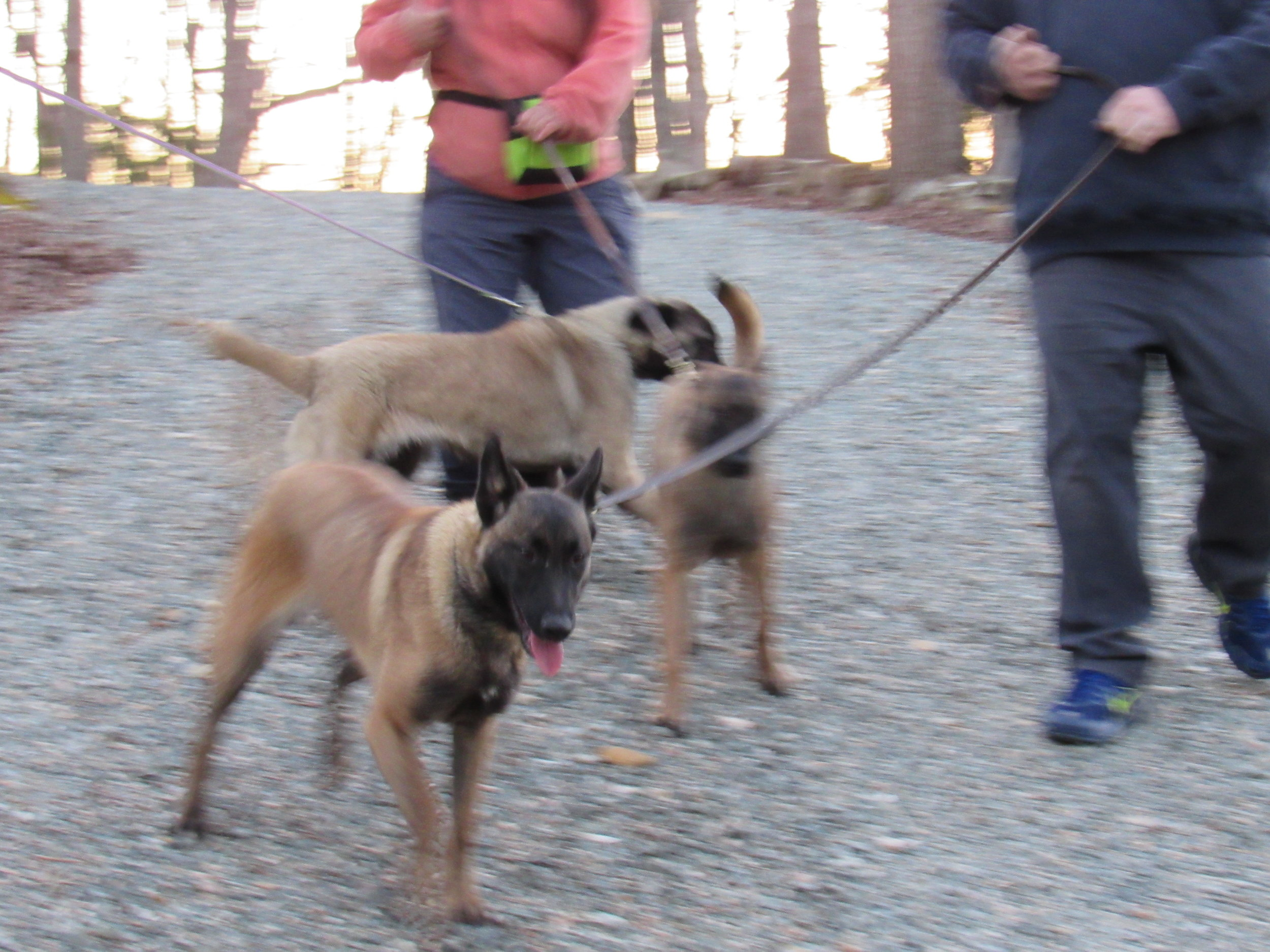 """The three """"flower"""" fosters learn about real farm life, meeting new people, and how to walk, kinda, on a leash!"""