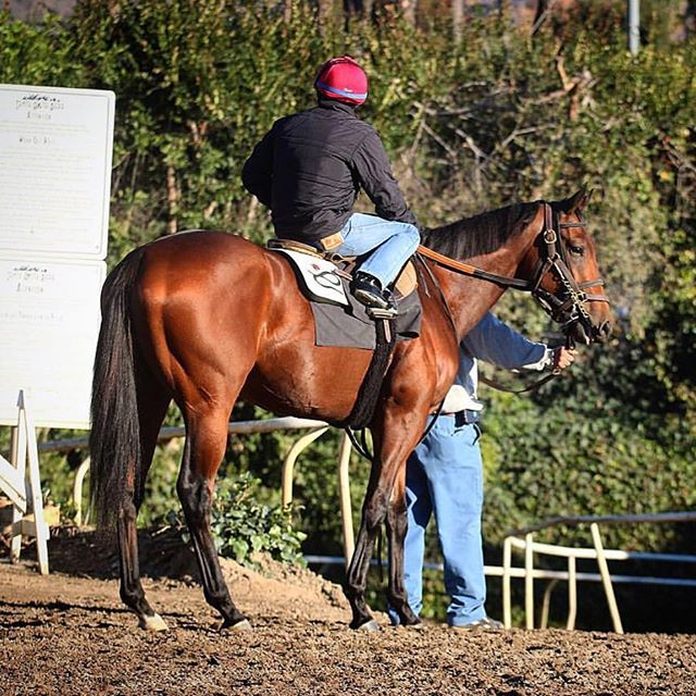 Our boy Vantastic runs later today in the Grade 3 Lazaro Barrera Stakes at @santaanitapark 🏇Post time is 4:30pm PST  #horseracing #vantastic #horsesofinstagram #thoroughbred #racehorse #horse #americasbestracing #caracingstables