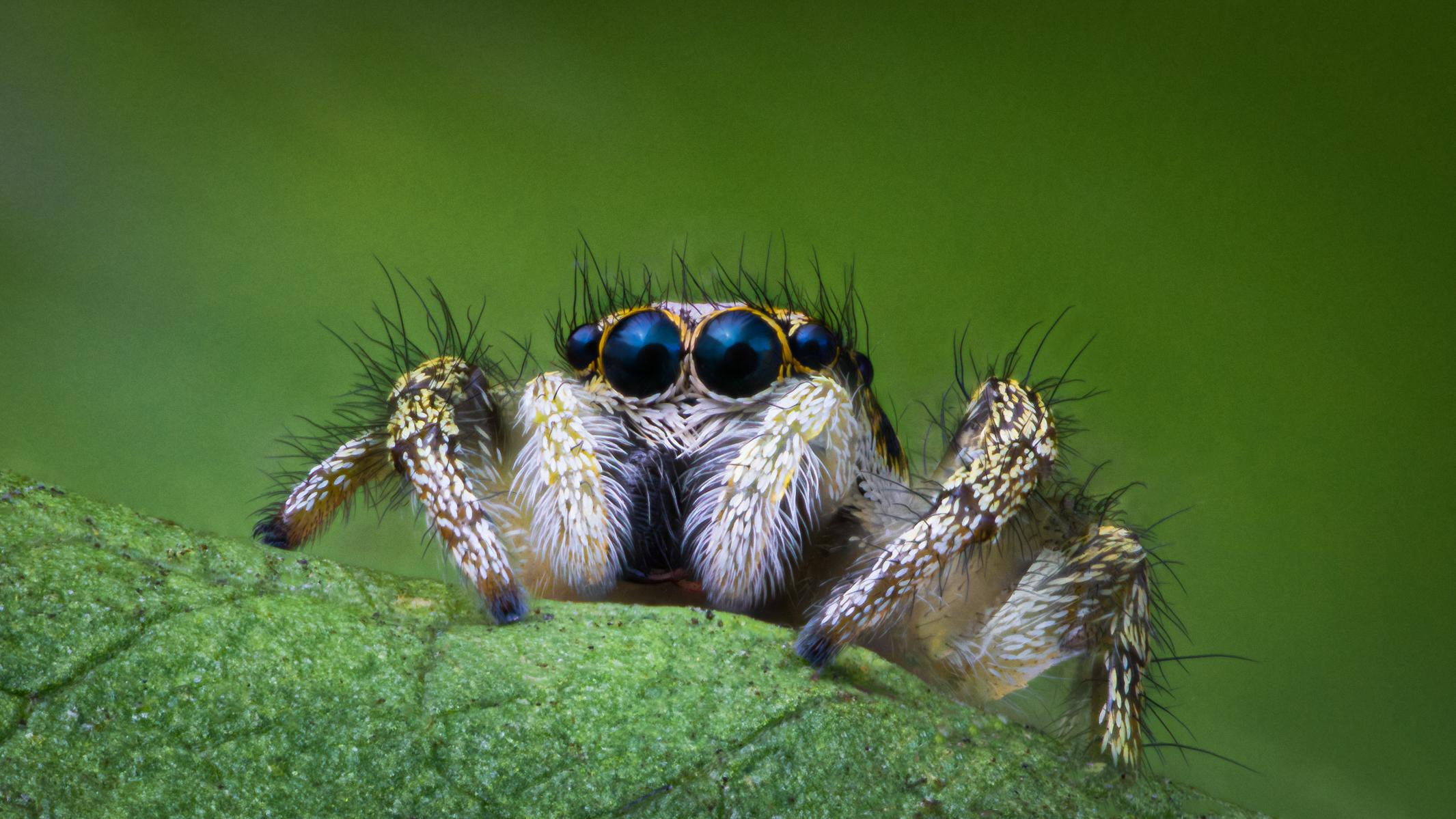 Zebra Spider on Green Leaf (Salticidae Salticus)-Final.jpg