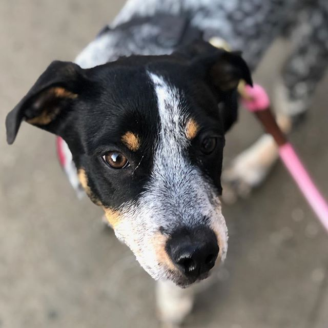 Rosie 😊 . . . . . #urbanwagbrooklyn #dogs #dogsofinstagram #dogstagram #dogscorner #bestwoofs #puppy #puppies #brooklyndogs #dogsofbrooklyn #newyorkdogs #nydogs #dogsofnewyork #newyork #brooklyn #love #happy #smile #me #likeforlikes #dogshow #dogwalker #adoptdontshop #dogwalking #dogsitting #dogsofinsta