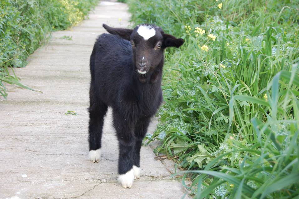 EKPAZ's baby goat Feggaroula, who will become Anabell's friend.