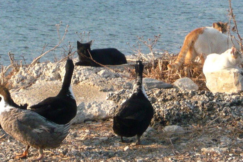 ducks-and-cats2-August-23rd-2013_sm.jpg