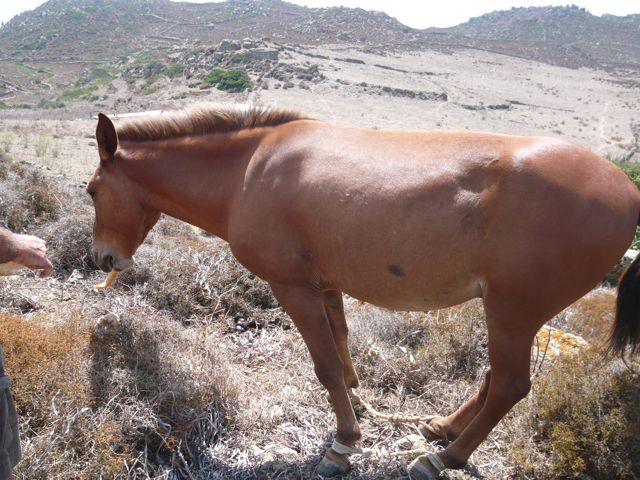 Mule with legs tied
