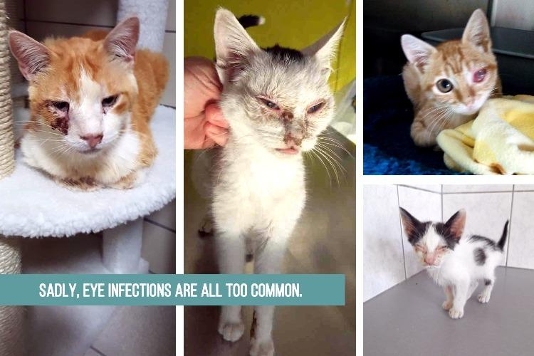 cat eye infections.jpg