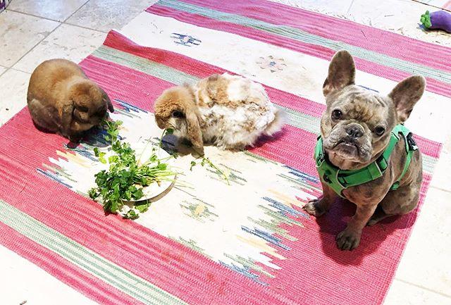every morning. . . . . #frenchie #frenchbulldog #frenchiesofinstagram #bunny #rabbitsofinstagram #georgejonesandtammywynette #alienbabybosky