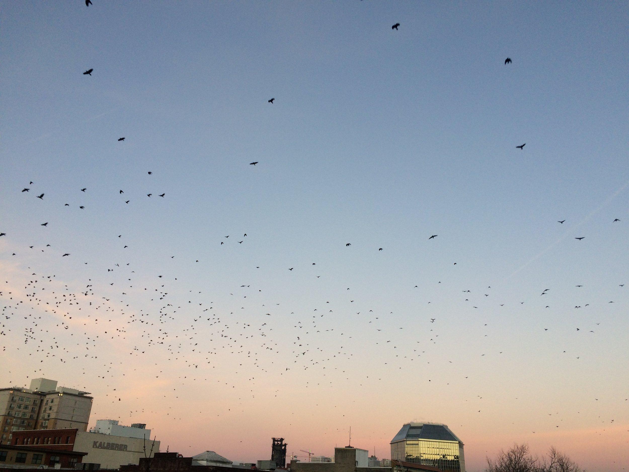 Migrating crows at night