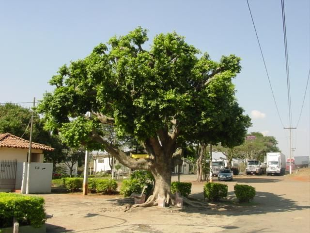 Indian Laurel fig tree