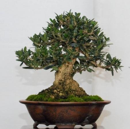 Olive tree 003.jpg