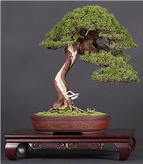 Shimpaku Juniper 'Itoigawa' (Bonsai Boon)