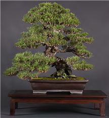 Cork Bark Japanese Black Pine (Bonsai Boon)