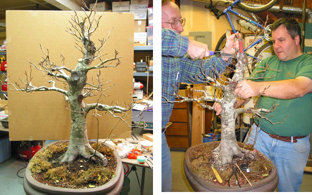 2003 Many branches have been severely   Scott and Alan make the big cut pruned, but not the top. Root grafts in place  on the trunk.