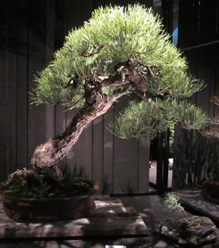 Ponderosa Pine – Lee Cheatle