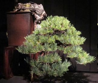 Southwestern White Pine – Greg Brenden