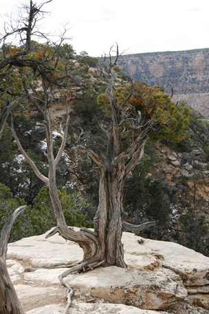 Utah Juniper emerging from solid rock and Colorado Pinyon Pine through a crack