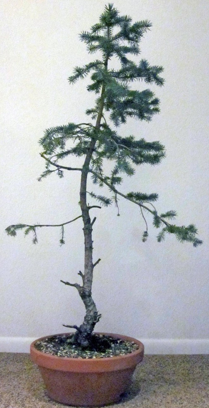 2015: Engelmann Spruce recovering from neglect