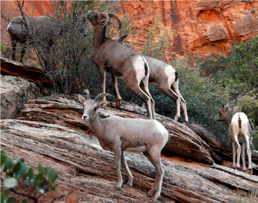 Desert Bighorn – A group of Desert Bighorn sheep.