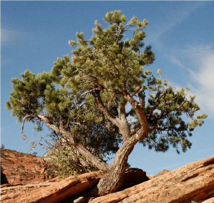 Zion Pinyon 1 – Pinyon Pine emerging from the sandstone.