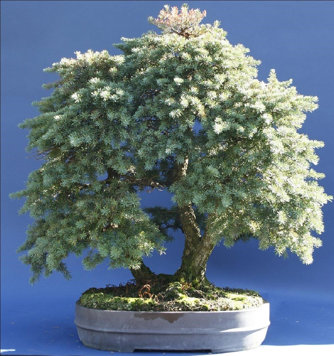 Bonsai Society Of Portland Scott S Branch Tips