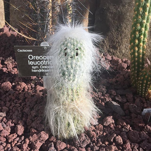The best cacti at #dunedinbotanicgardens 🙂