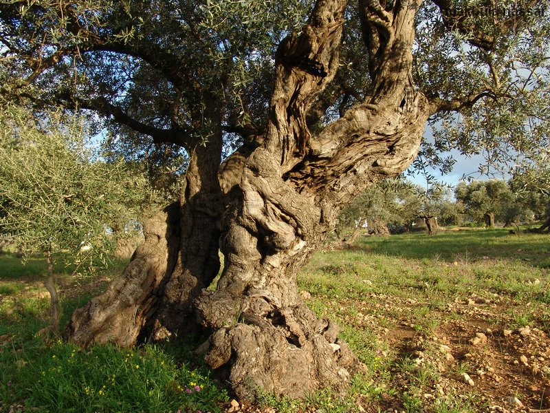 al-Rama - The olive trees are one of the oldest inn the region.jpg