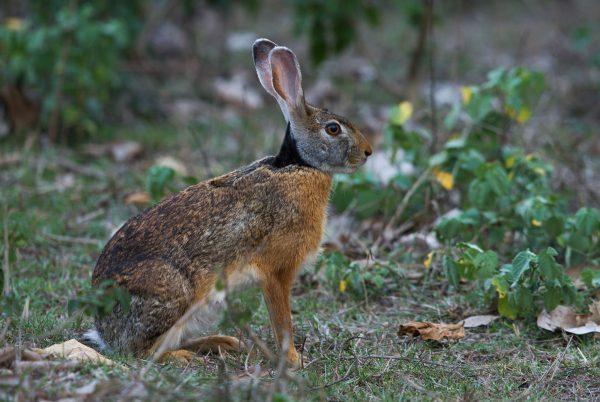Indian-hare-e1513693096783.jpg