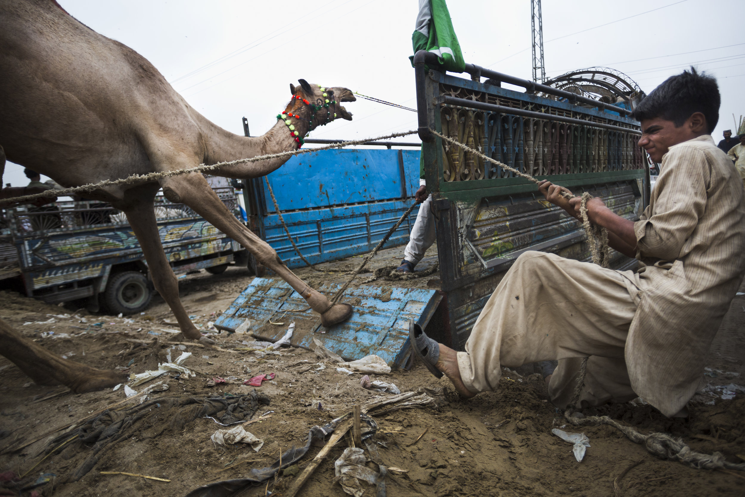 A boy wrangles a camel at a 'mandi,' in Karachi, Pakistan on Friday Aug 9, 2019. Mandis are pop up animal markets where customers browse and purchase goats, sheep, cows, or camels for sacrificial slaughter for the Muslim celebration Eid al-Adha. Much of meat is often distributed to impoverished families. This ritual sacrifice originates from the sacrificial story of Abraham and his son Ishmael.