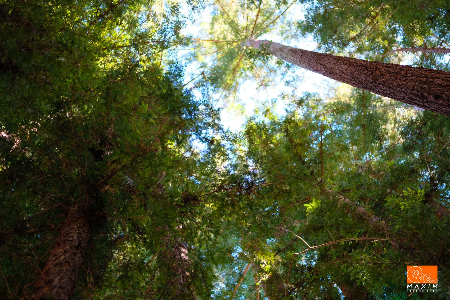 The Redwood Trees