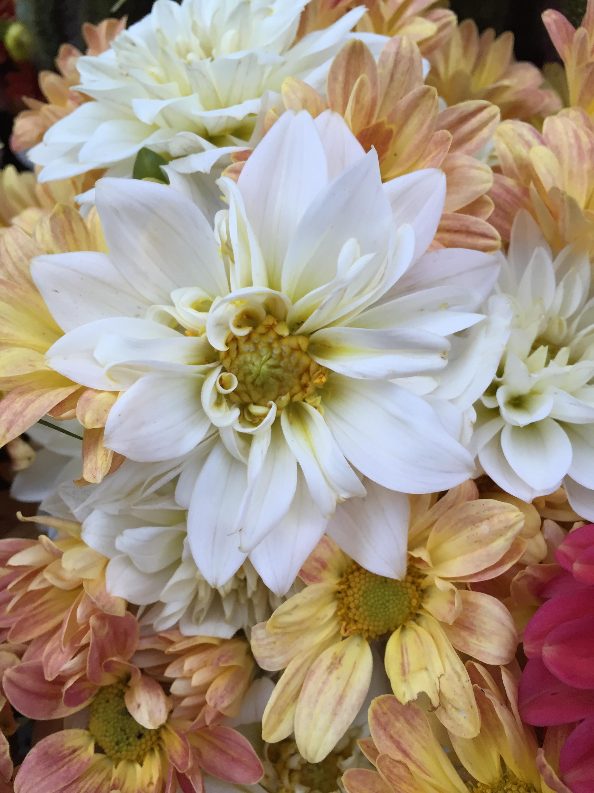 fragrant fall chrysanthemums