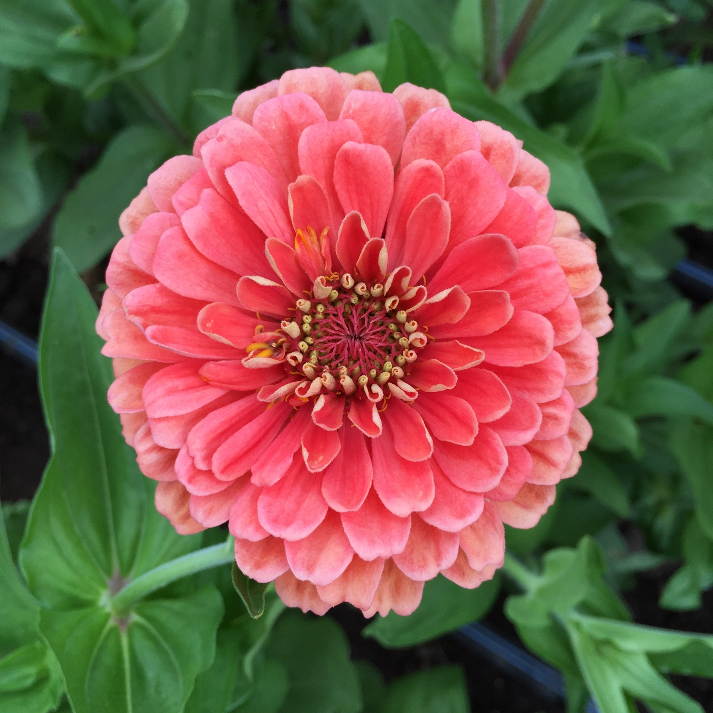 long-lasting zinnias in extraordinary colors