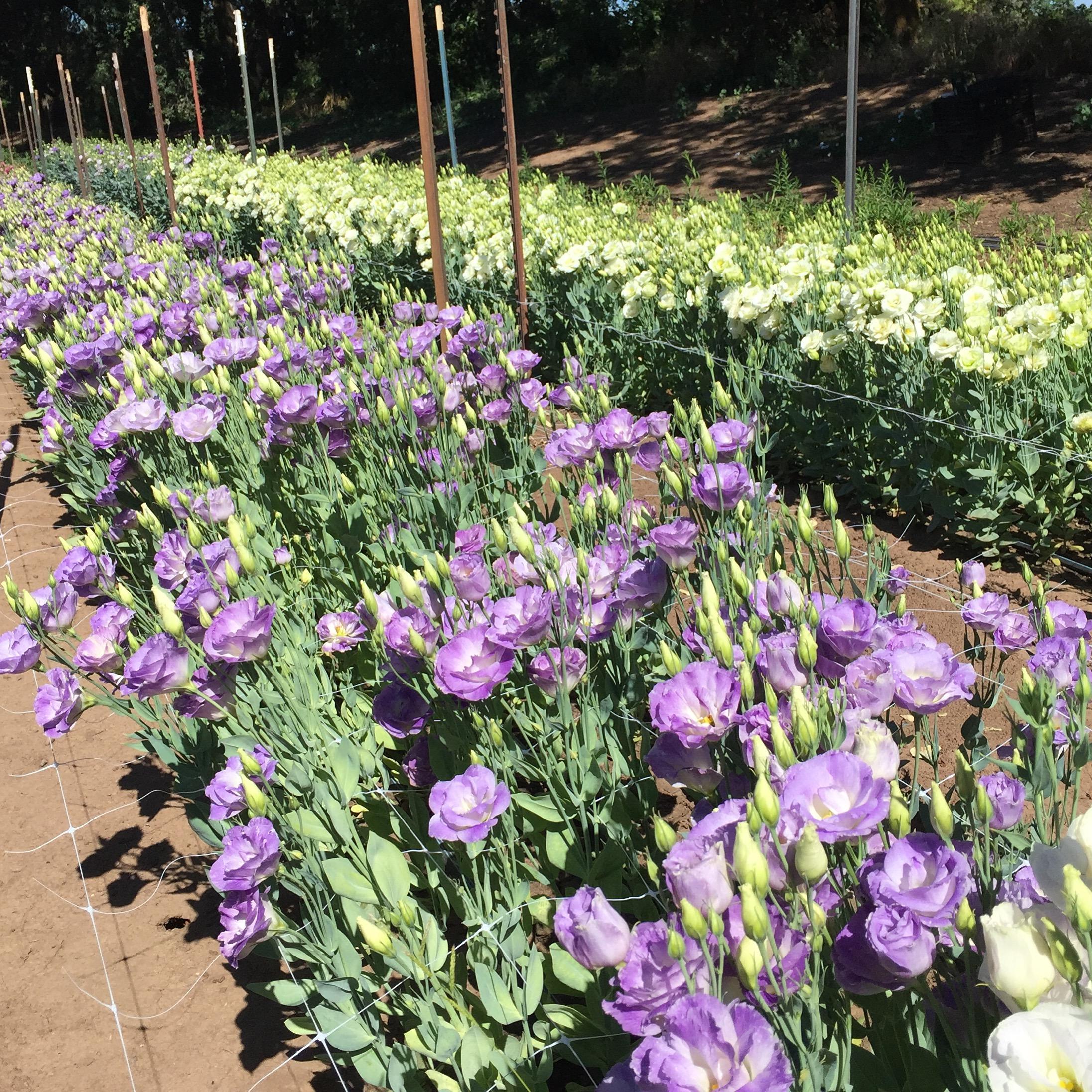 lisianthus in full bloom